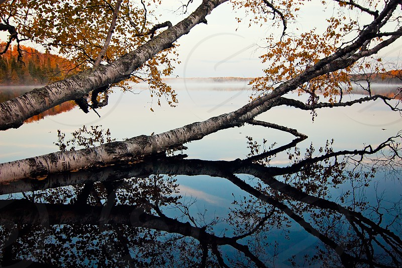 A birch stretches across a calm boundary waters lake at dawn in Minnesota. photo
