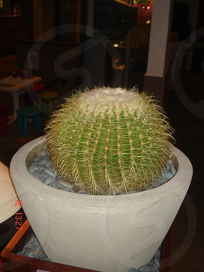 Beautiful round cactus photo