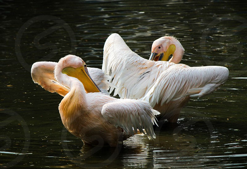 swans Mirror . lake color reflection birds birding feathers water fresh couple love animals Symetric photo