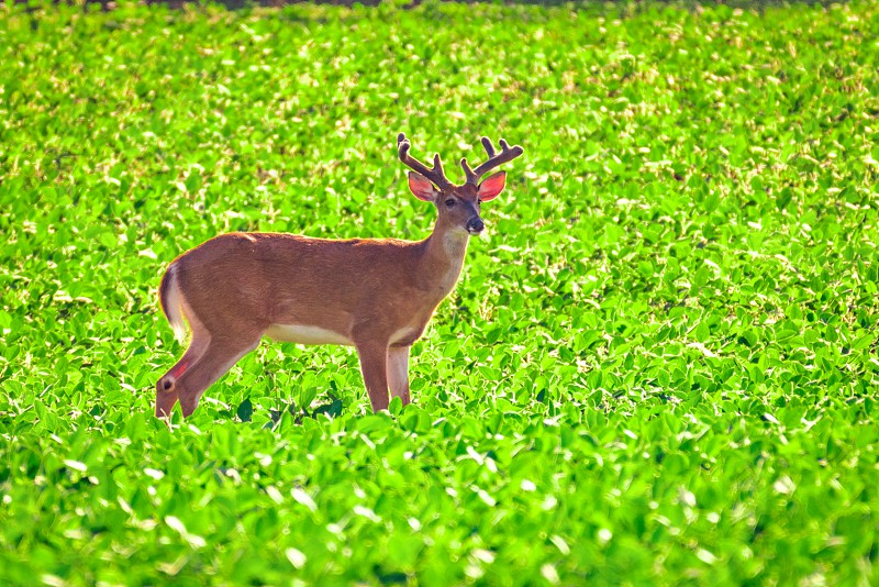 Male deer (buck) with antlers in velvet standing in a field in late spring time in Ohio. photo