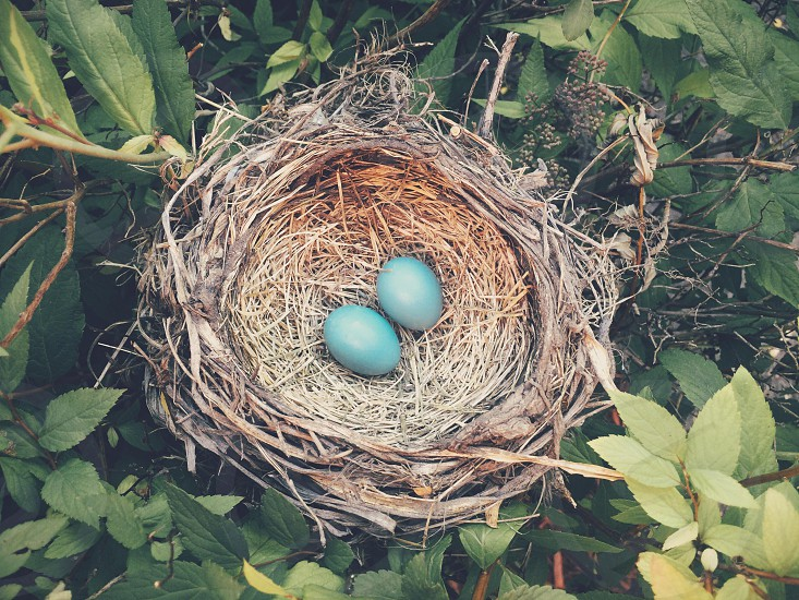 Robin's nest photo