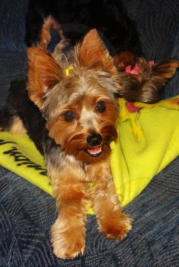 Yorkshire terrier puppy dog photo
