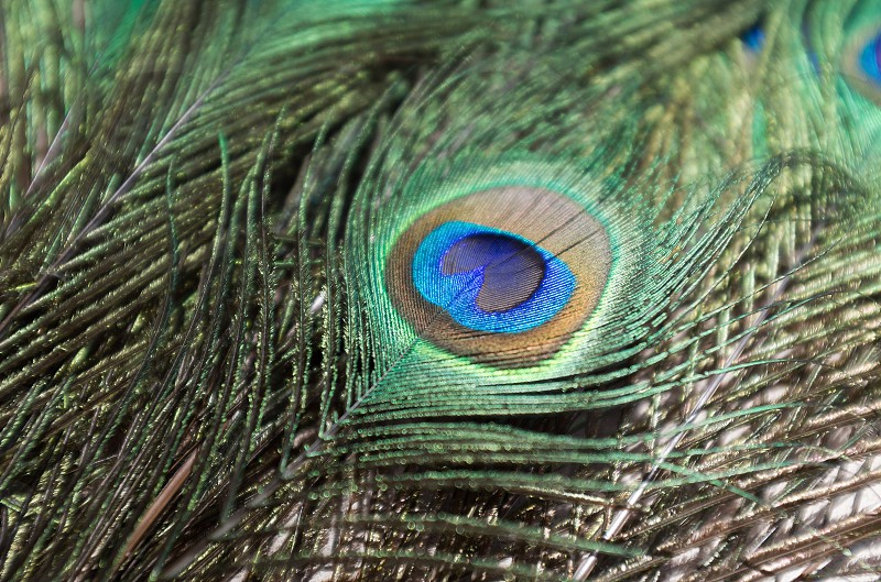 green and blue peacock feather photo