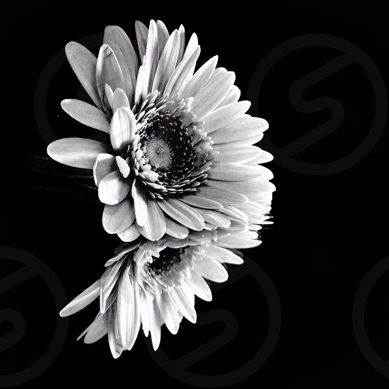 black and white flower photo photo