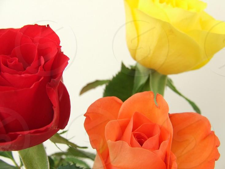 Roses. photo