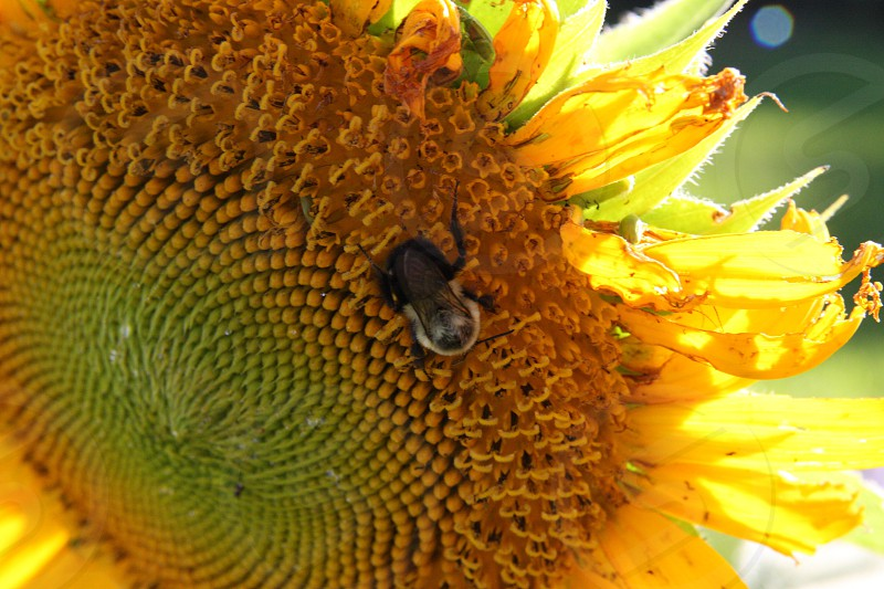 Sunflower middle with bees and bugs photo