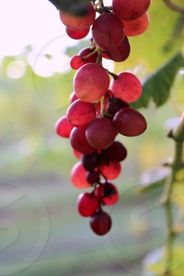 Red violet translucent grapes in a vineyard hanging fruit photo
