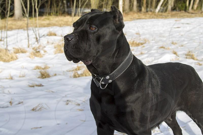 Cane corso italiano dog for a walk in the winter forest photo