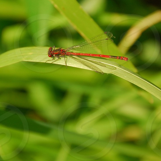 Large Red Damselfly photo