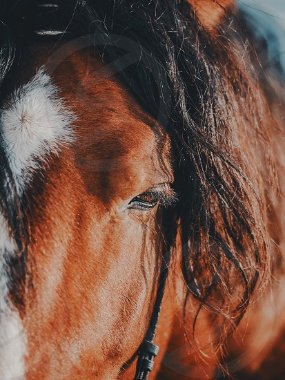Brown stallion. Portrait of a sports brown horse. Riding on a horse. Thoroughbred horse. Beautiful horse. photo