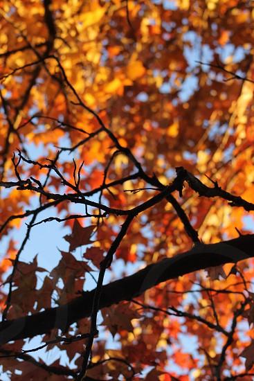 brown maple tree under blue sunny sky photo