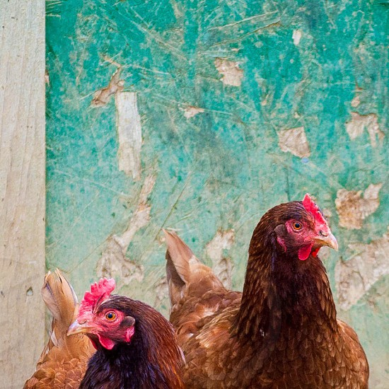 2 brown chicken photo