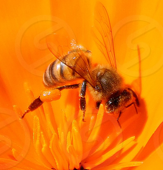 Closeup of a honey bee in the center of a bright orange flower. photo