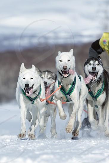 KAMCHATKA PENINSULA RUSSIA - FEB 25 2017: Running sled dog team Alaskan husky Kamchatka musher Sitnikov Alexey. Kamchatka Sled Dog Racing Beringia Russian Cup of Sled Dog Racing (snow disciplines) photo