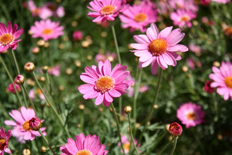Garden bed filled with pink daisies. photo