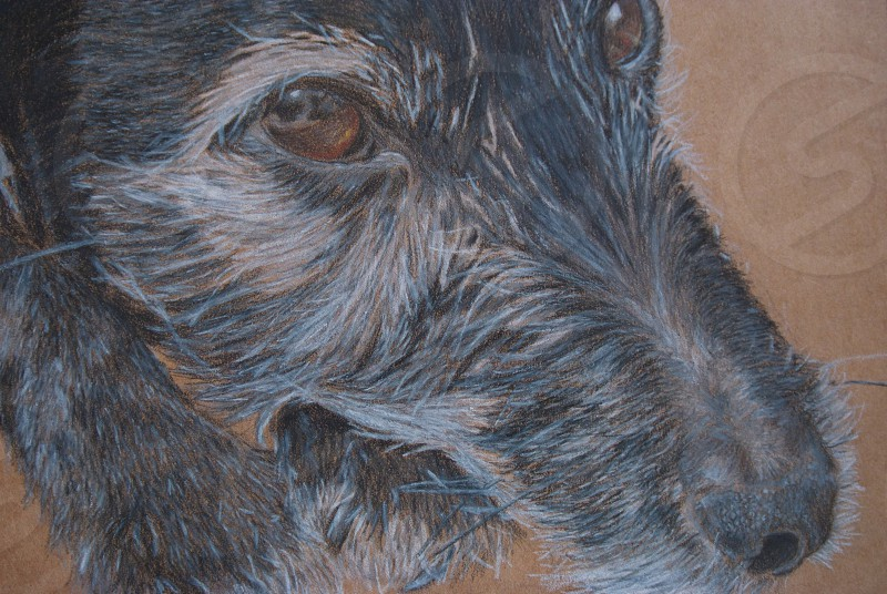 A photo of a hand drawn picture depicting a Patterdale Terrier using Prismacolor artists pencils photo