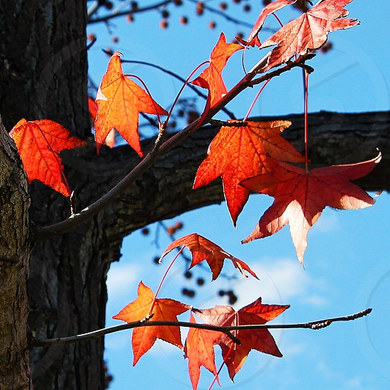 Detail of Autumn leaves on a tree photo