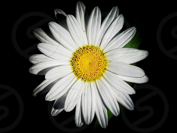 white daisy closeup photo photo