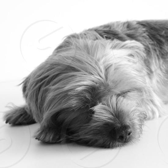 Sleeping Yorkie photo