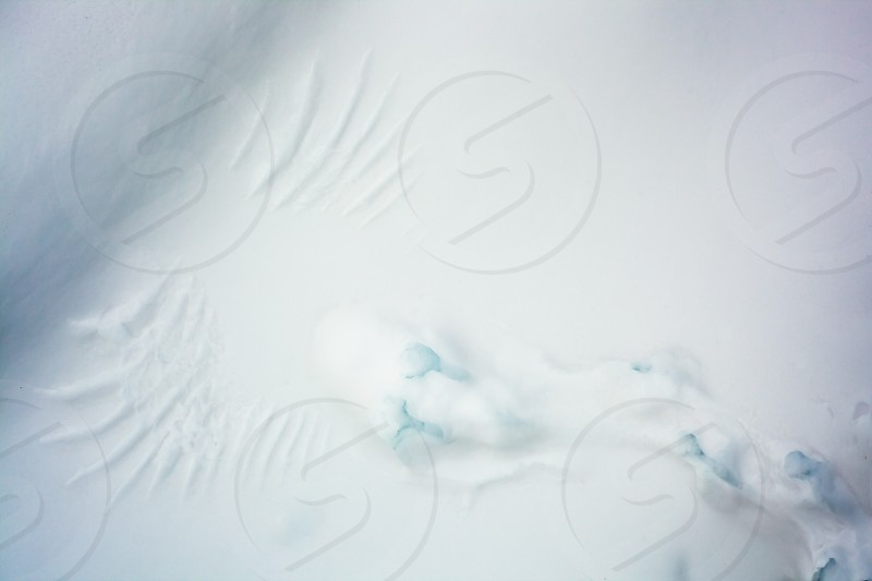 Marks of feet and wings of taken-off grouse left behind imprinted in soft snow surface photo