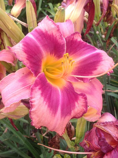 purple and pink lily flower photo