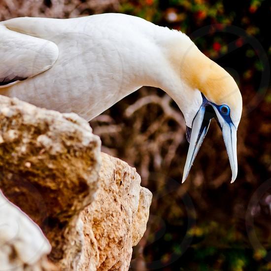Funny seabird Australasian Gannet Morus serrator Takapu shouting with beak wide open photo