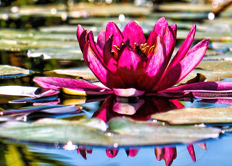 Light filters through a bright pink lotus flower among lily pads in a pond photo