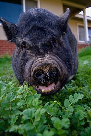 pig eating greens in yard photo