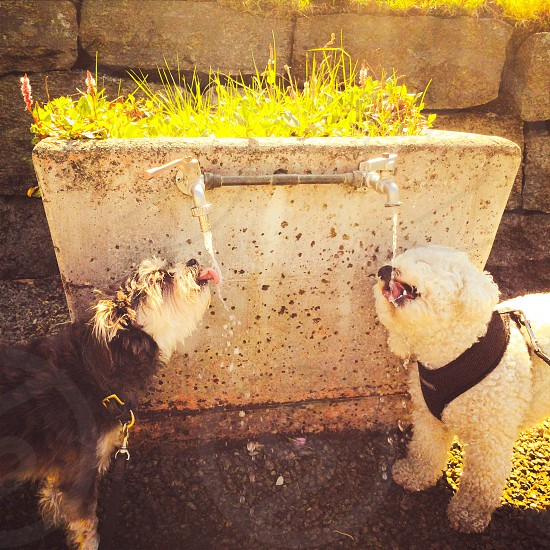 two medium long-coated dogs drinking water on faucet photo