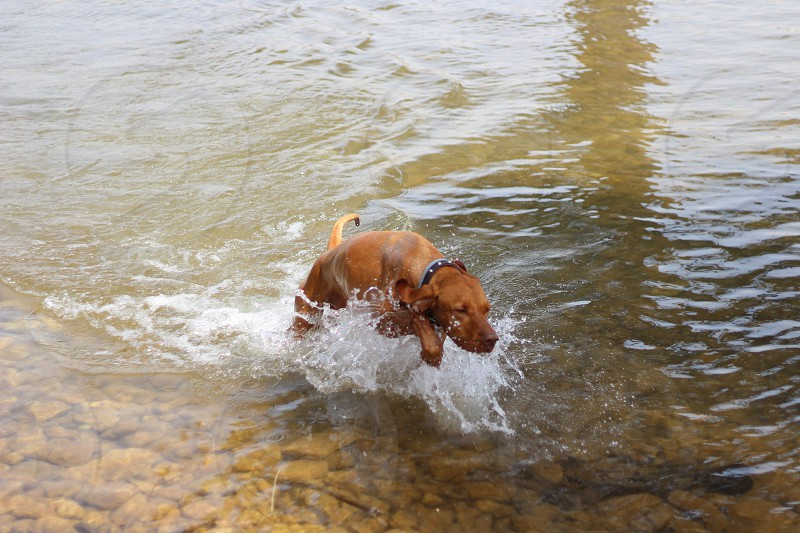 brown dog running in water photo