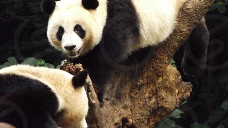 Giant Pandas at the Sichuan Panda Research Base in Chengdu China photo