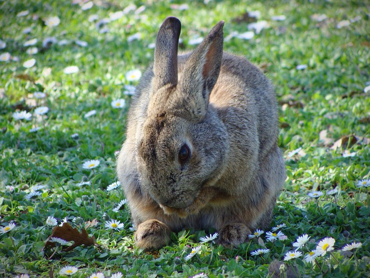 brown bunny on white daises photo