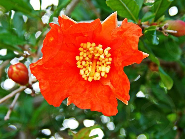 Pomegranate Flower  photo