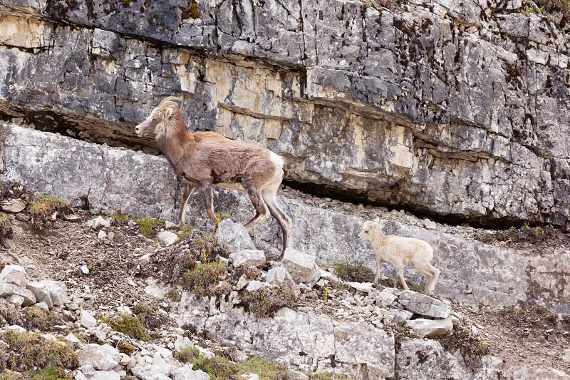 Female Stone Sheep Ovis dalli stonei or thinhorn sheep leading its lamb up rocky mountain terrain wildlife of northern Canadian Rocky Mountains British Columbia Canada photo
