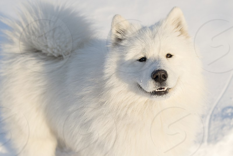dog Samoyed white fluffy winter snow joy happiness freedom beautiful cute pet friendship photo