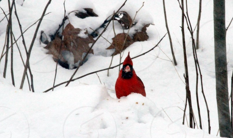 cardinal bird on snow covered ground photo