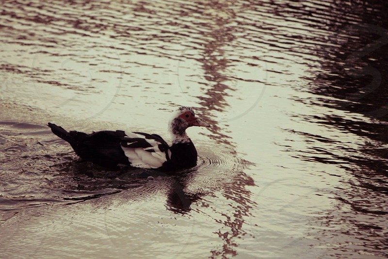 black and white duck on pon photo