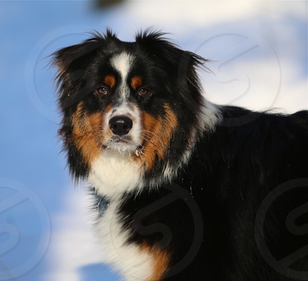 Dog Australian Shepherd winter photo