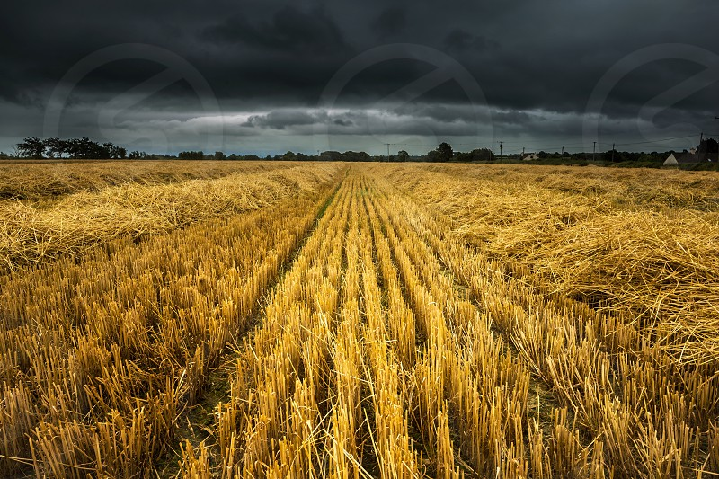 yellow plant field in panoramic photography photo