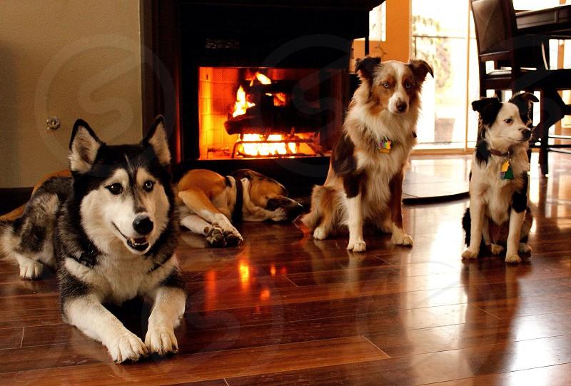 Dog dogs fire home warm comfort cute husky Aussie pitbull animal animals winter photo