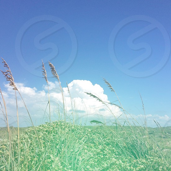 wheat field and cloudy blue sky photo