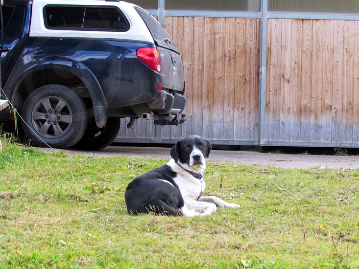 large black white short-hair dog lying on grass lawn by car port photo