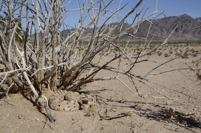 A sidewinder rattlesnake (Crotalus cerastes) views its sandy desert domain in SW Arizona. photo