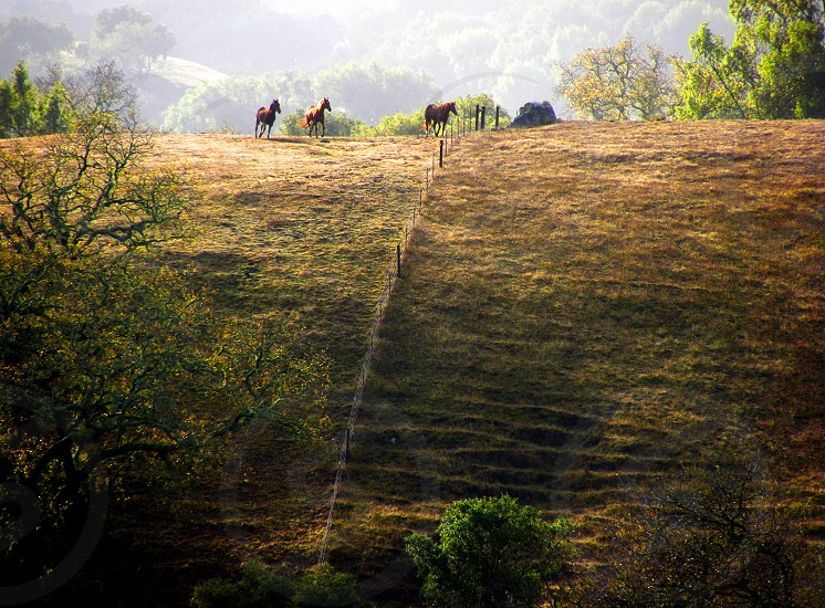 Three horses play in the mist on top of a distant hill in the golden light of morning. photo