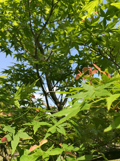 楓(Japanese maple) photo