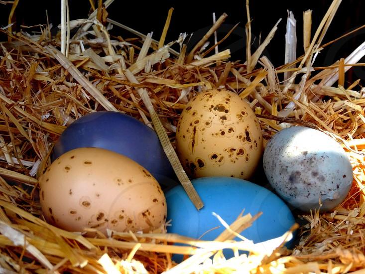 5 eggs on nest photo