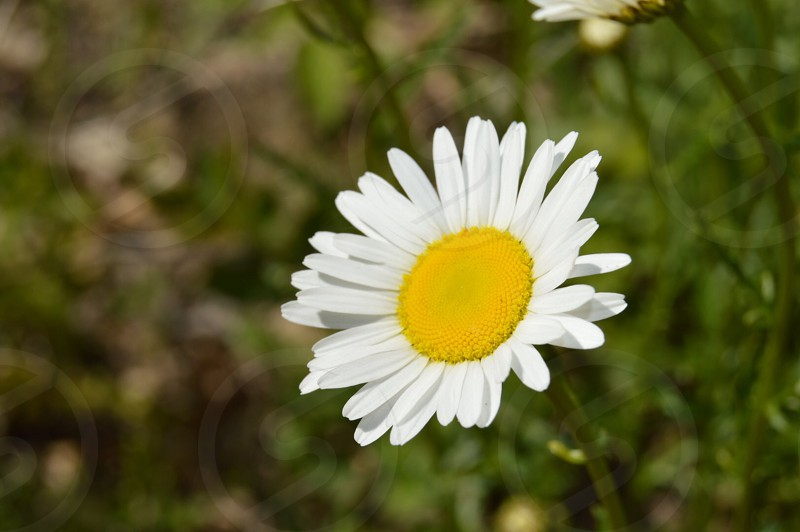 Spring flower yellow white outside outdoors photo