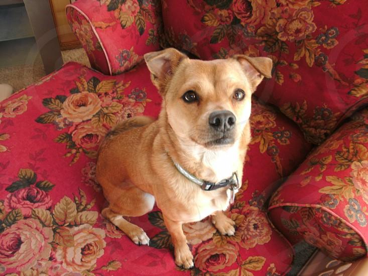 Chihuahua Pug Dog photo