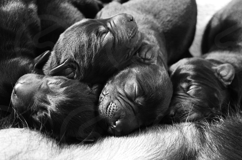newborn labrador retriever puppies sleeping piled on their mother's belly photo