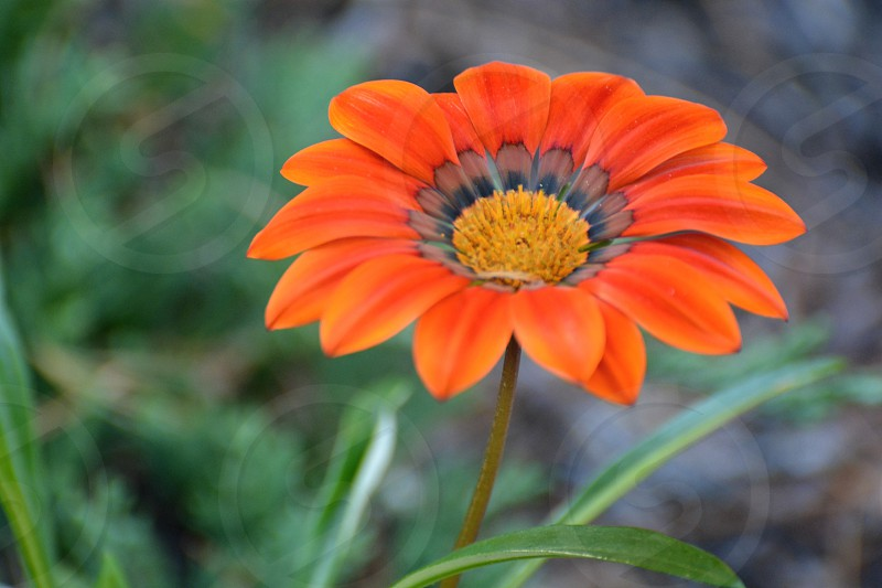 Orange fall flowers photo